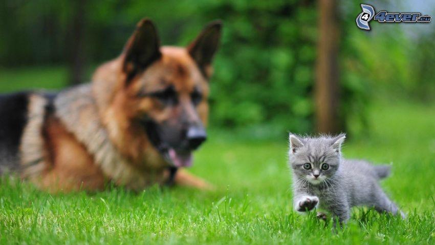 Graues Kätzchen, Schäferhund, Gras