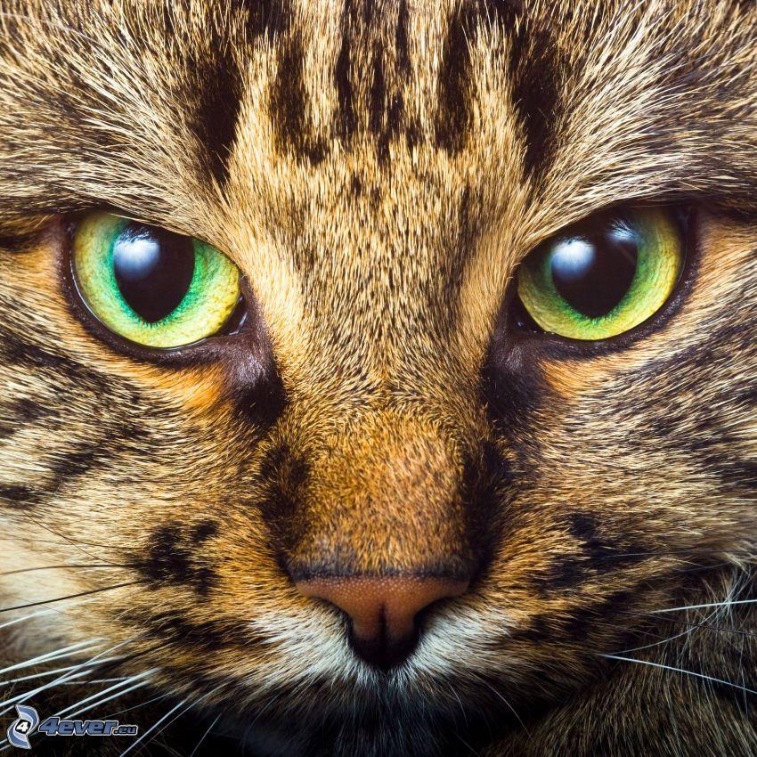 Grüne Katzenaugen, Blick, Schnauze