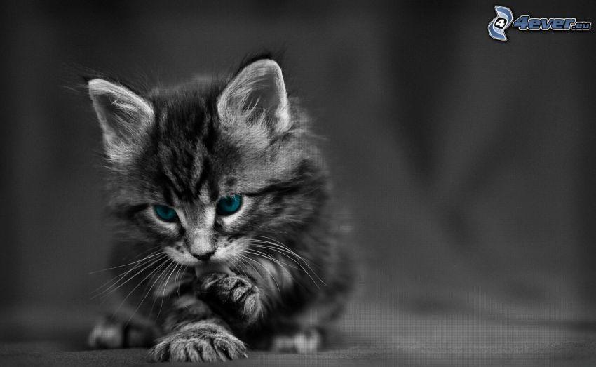 Kätzchen, blaue Augen