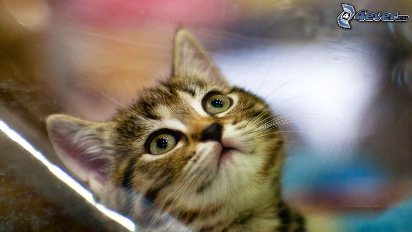 Kätzchen, Blick der Katze