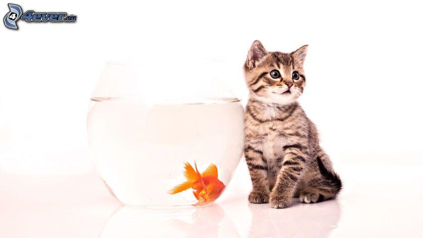 Kätzchen, Goldfisch, Aquarium