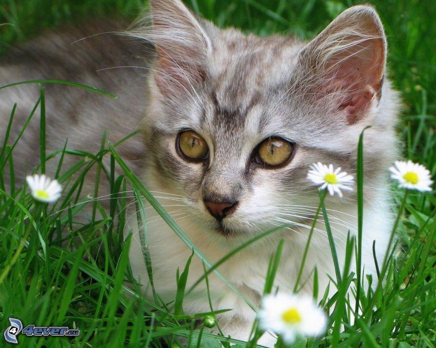 Kätzchen, Gras, Gänseblümchen, Blick
