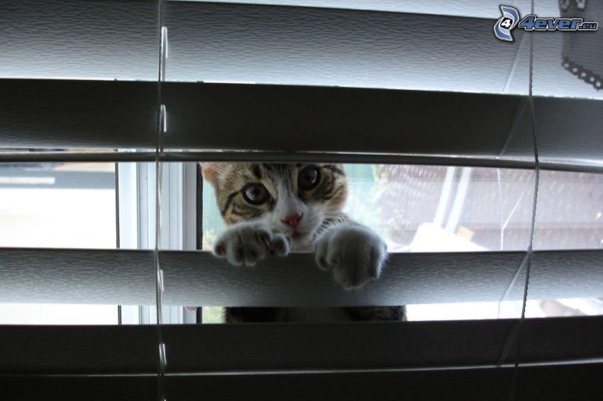 Kätzchen, Jalousie
