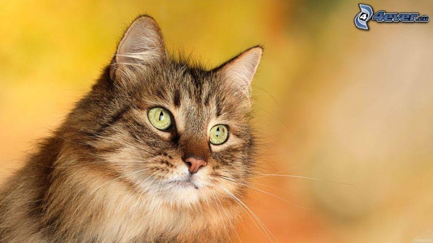 Kätzchen, Katzenkopf