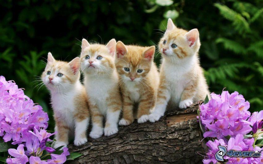 Kätzchen, kleine rothaarige junge Katze, lila Blumen