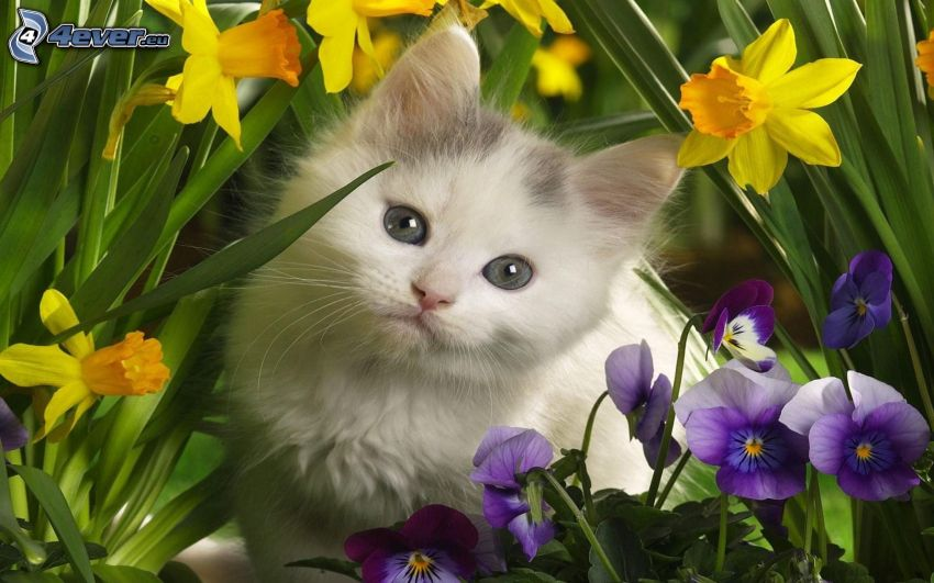 Kätzchen, Narzisse, Stiefmütterchen