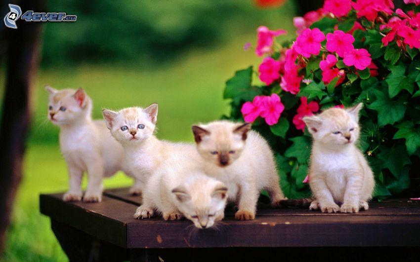Kätzchen, rosa Blumen