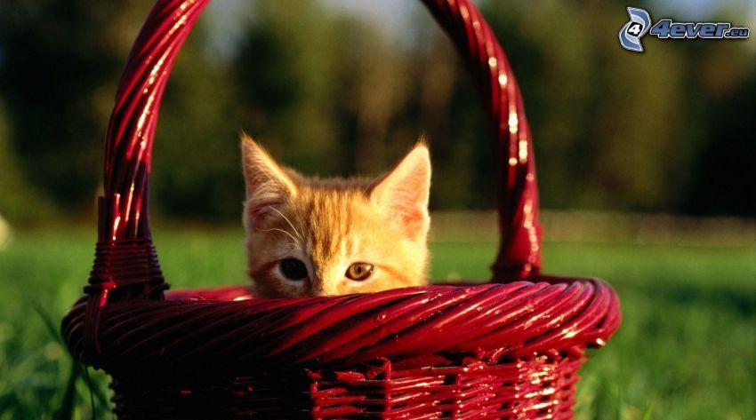 Kätzchen in einem Korb, rostfarbenes Kätzchen