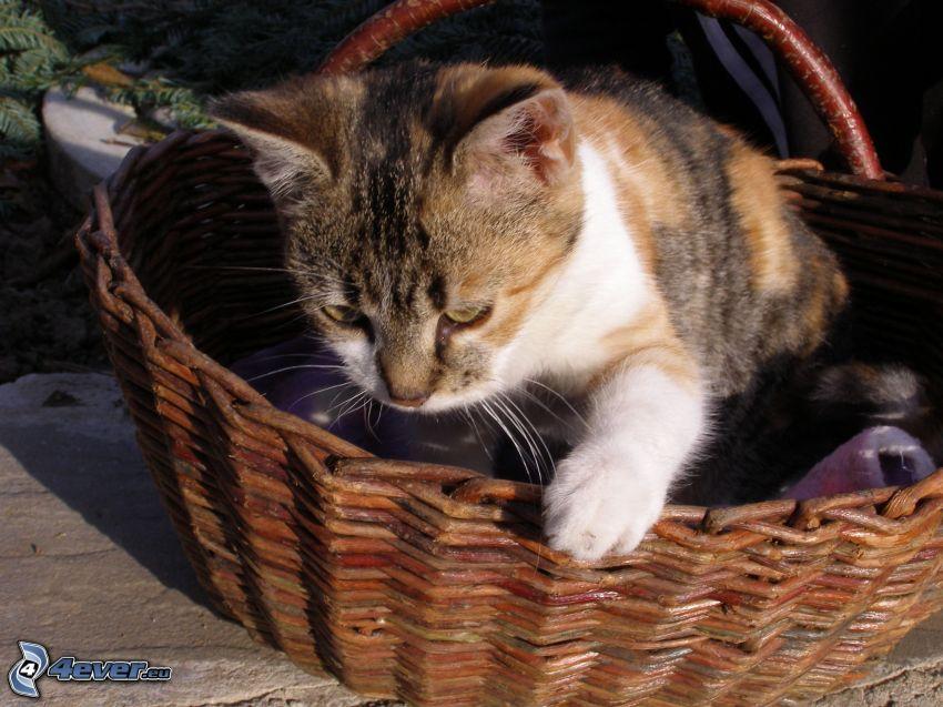 Kätzchen in einem Korb, weiße Pfote