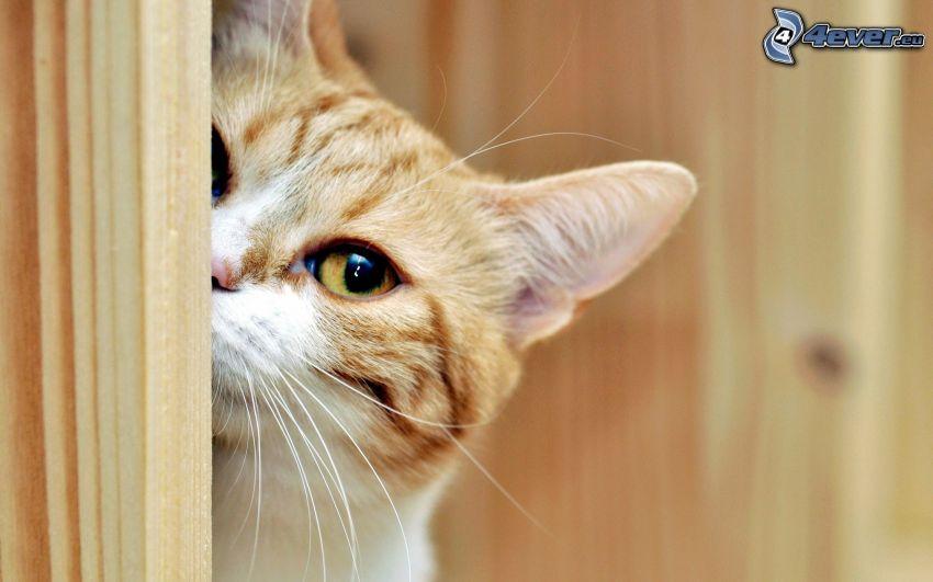 Katze, Auge
