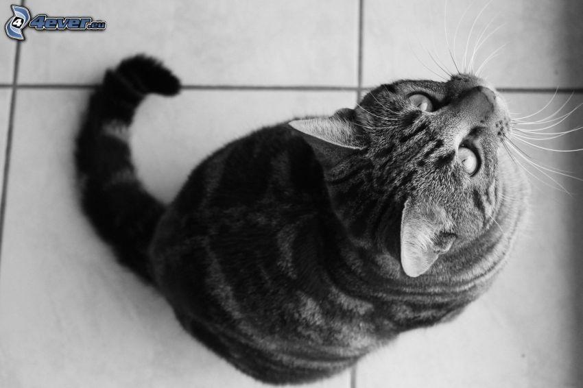 Katze, Blick, Schwarzweiß Foto