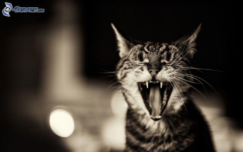Katze, Gähnen