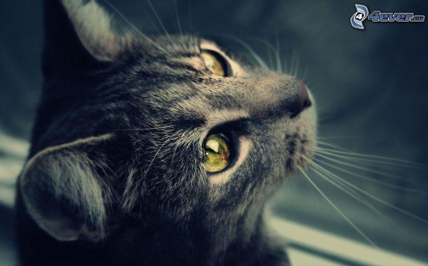 Katze, Katzenkopf