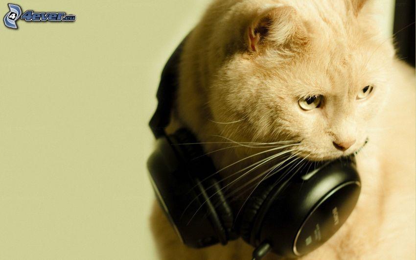 Katze, Kopfhörer