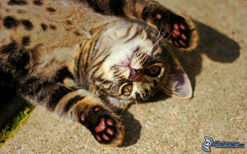Katze, Pfoten