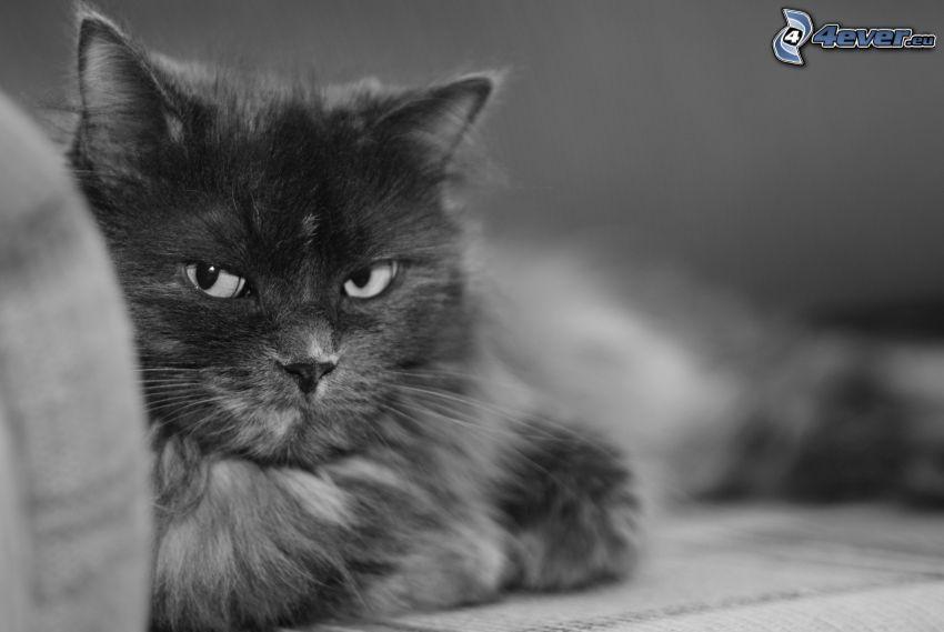 Katze, Schwarzweiß Foto