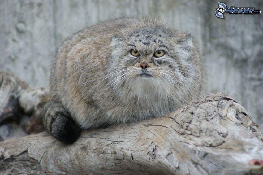 Katze, Stumpf
