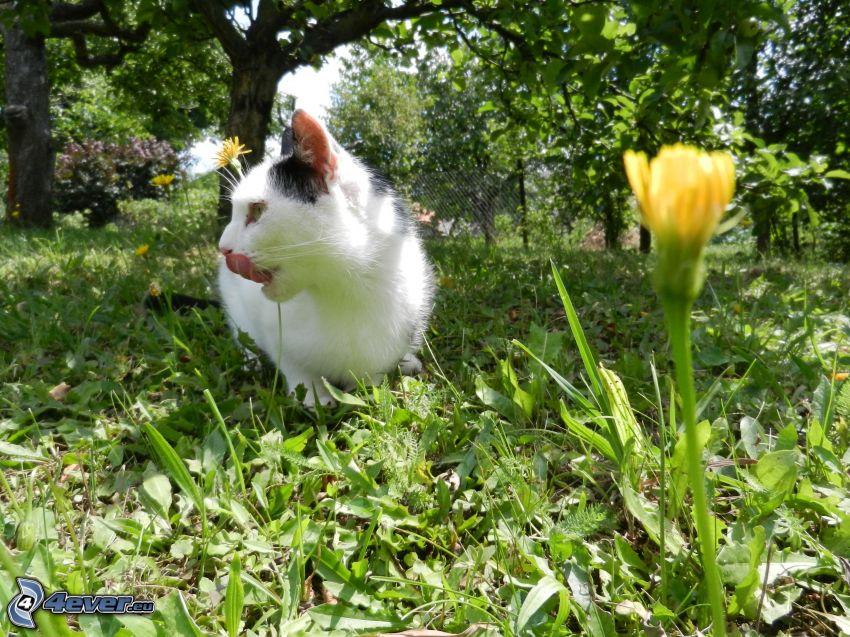Katze auf dem Gras, hängende Zunge, Löwenzahn