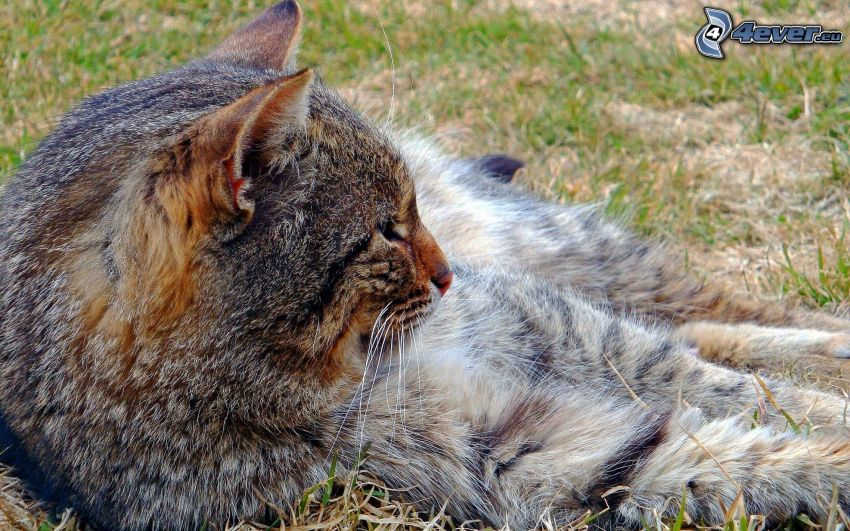 Katze auf dem Gras, Rast