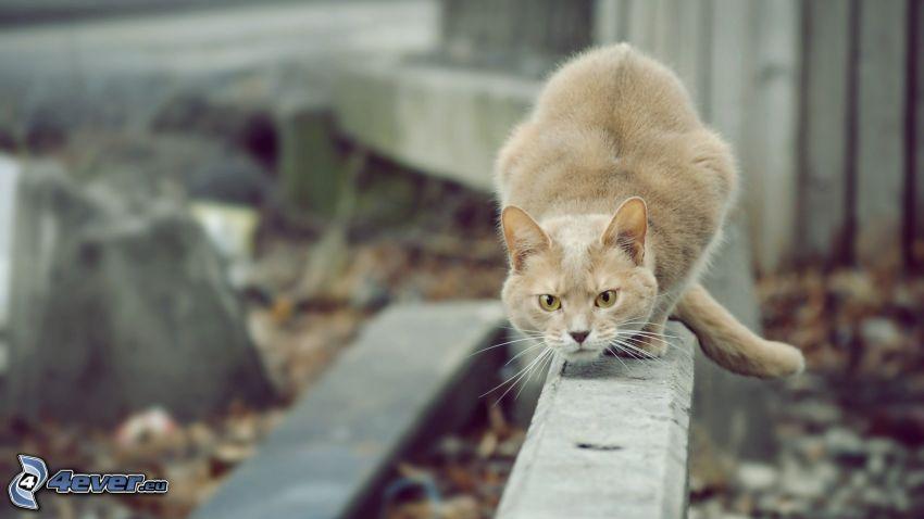 Katze auf der Mauer, graue Katze