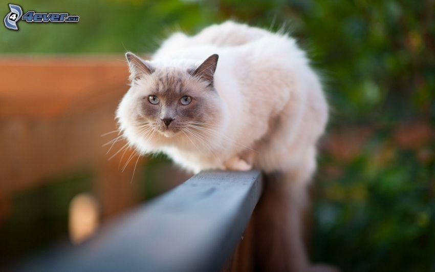Katze auf Zaun, Siamkatze