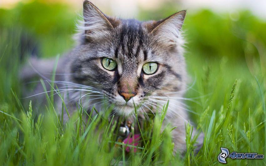 Katze im Gras, graue Katze