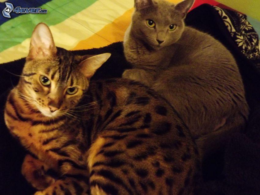 Katzen, britisch Kurzhaar