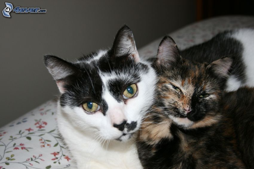 Katzen, gescheckte Katze
