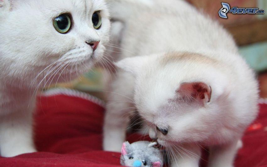 Katzen, kleines weißes Kätzchen, Maus