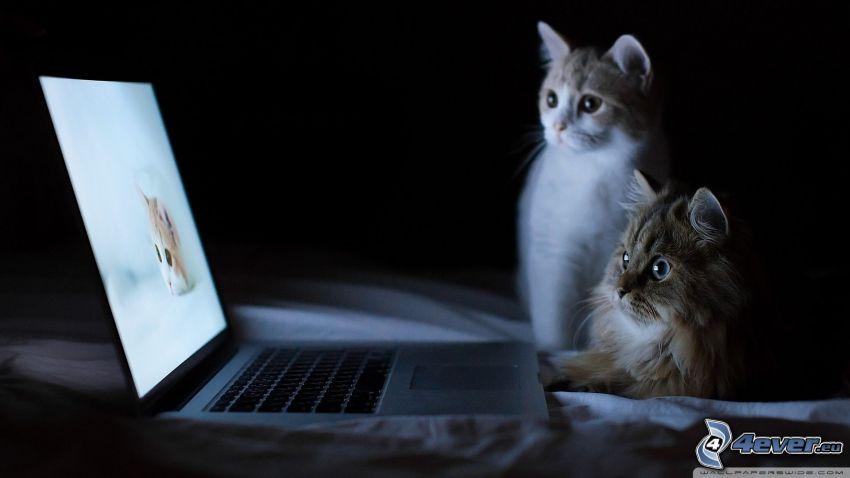 Katzen, MacBook