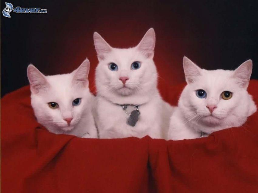Katzen, rote Substanz