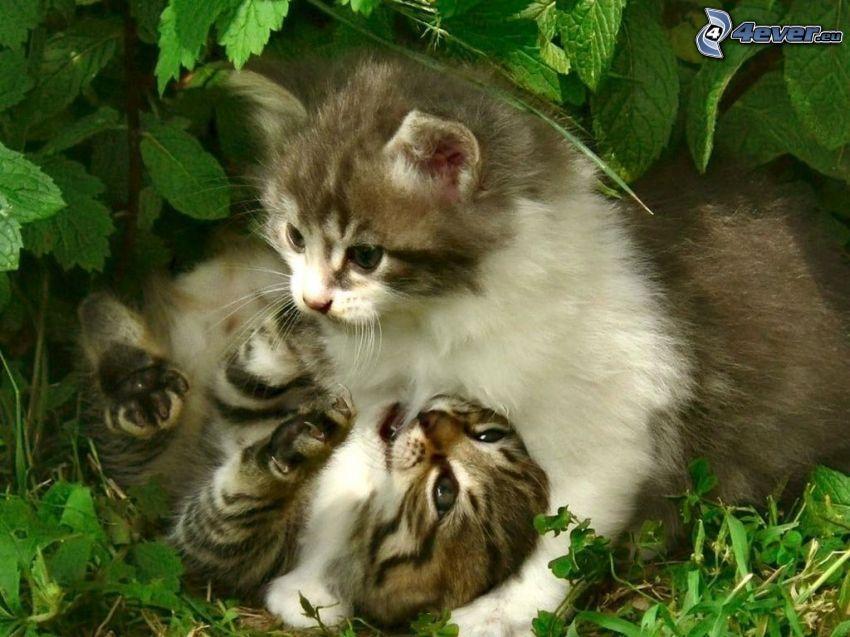 Katzen, Schlacht