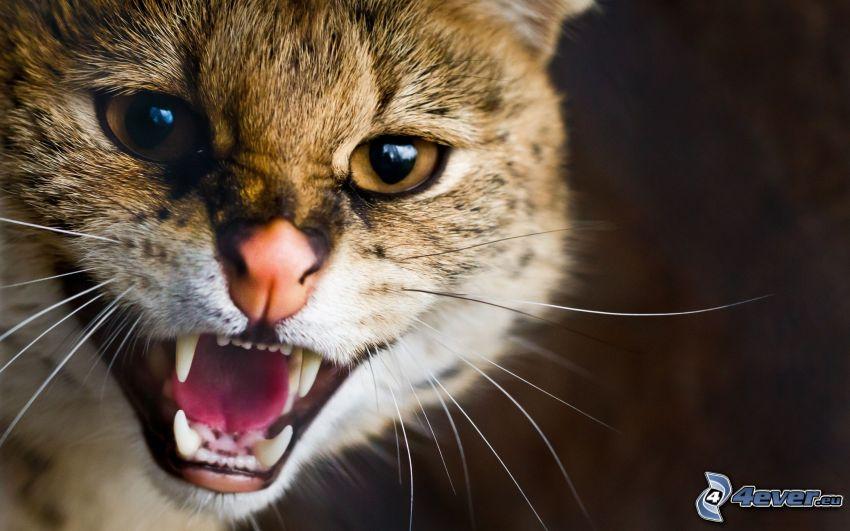 Katzenkopf, Fangzähne