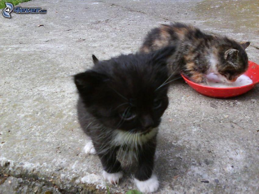 kleine Kätzchen, Schüssel, Milch