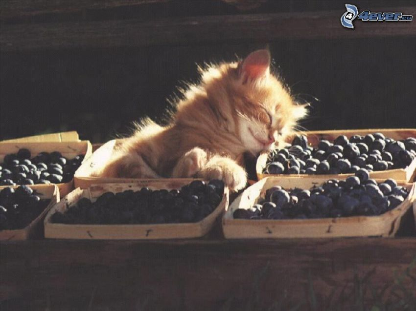 kleine rothaarige junge Katze, Blaubeeren, Faulenzen, Kasten