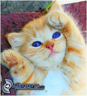 kleine rothaarige junge Katze, blaue Augen
