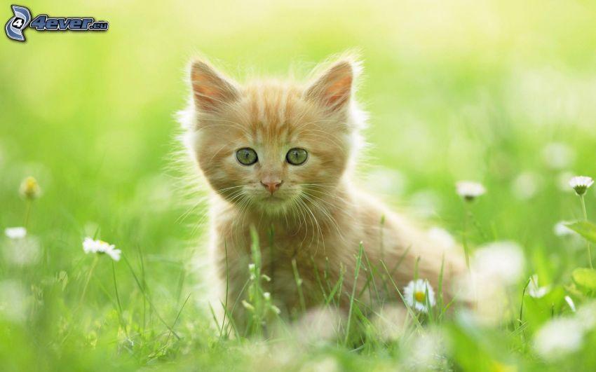 kleine rothaarige junge Katze, Katze im Gras, Gänseblümchen