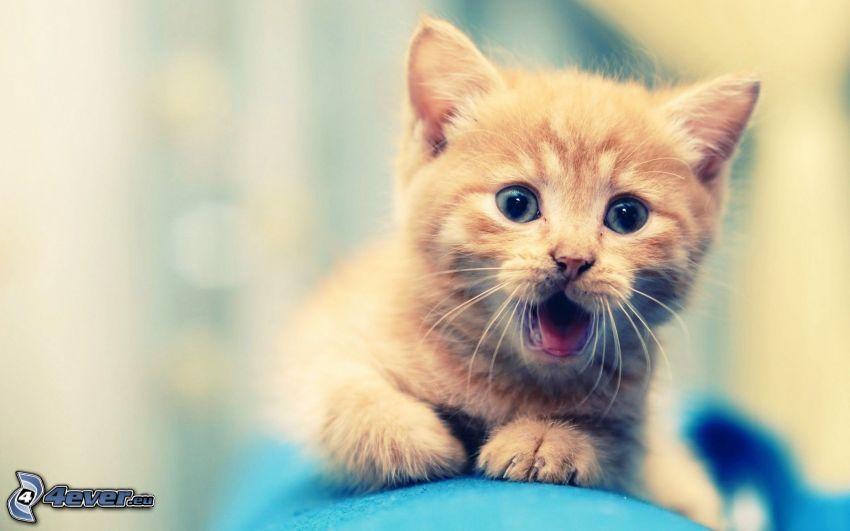 kleine rothaarige junge Katze, Überraschung