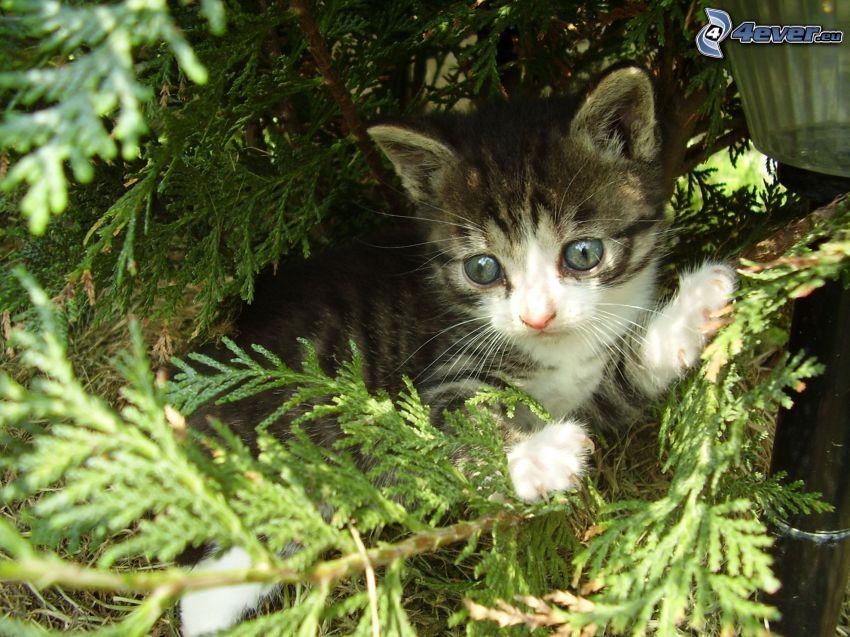 kleines graues Kätzchen, Äste