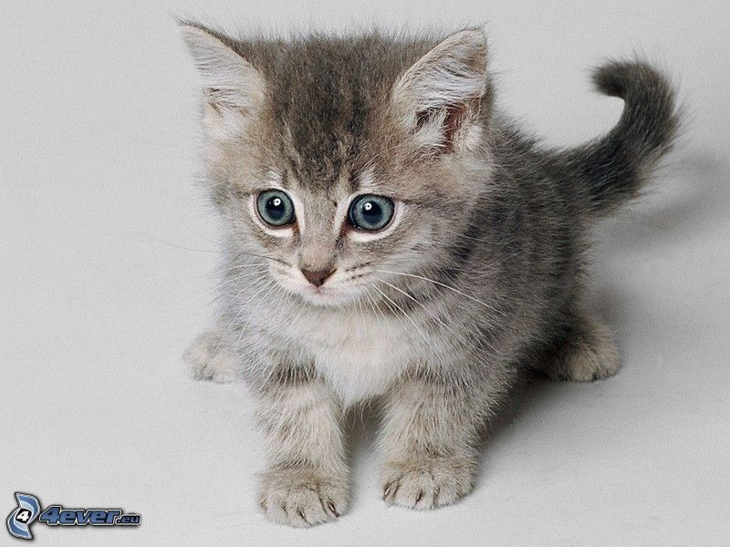 kleines graues Kätzchen, große Augen