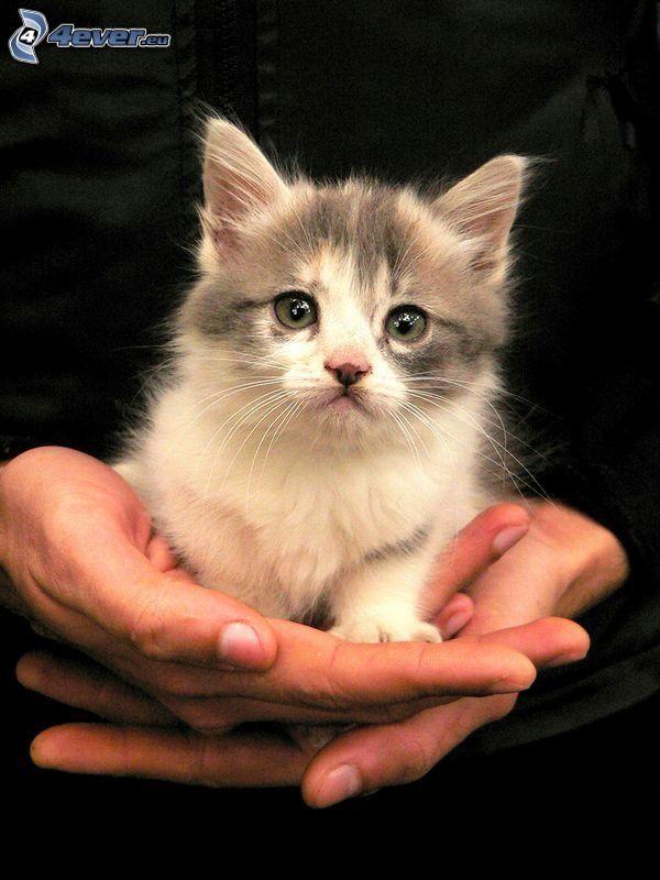 kleines graues Kätzchen, Hände