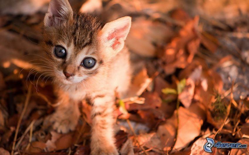 kleines Kätzchen, Augen, trockene Blätter