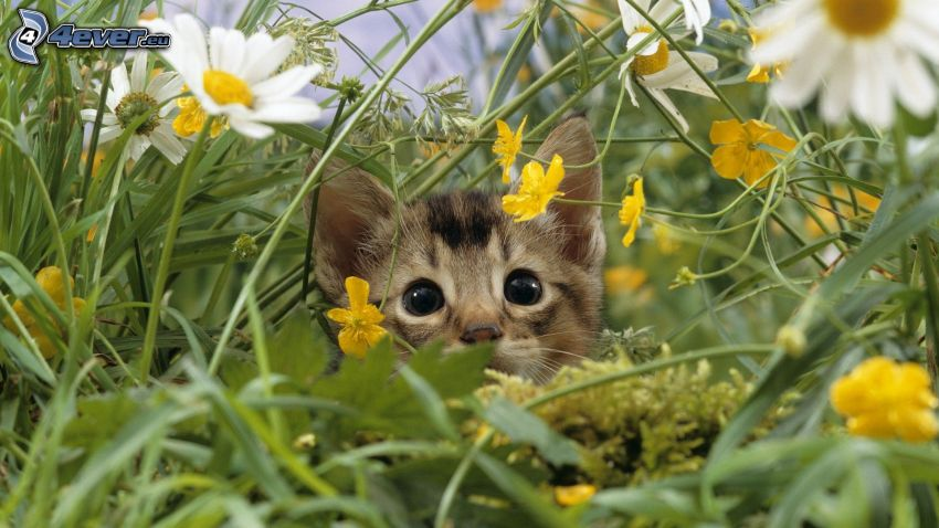 kleines Kätzchen, Gänseblümchen, gelbe Blumen, Gras