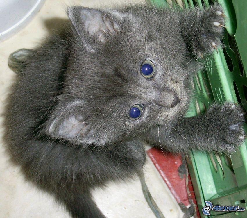 kleines Kätzchen, graue Katze
