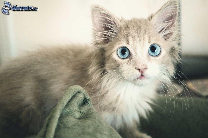 kleines weißes Kätzchen, blaue Augen