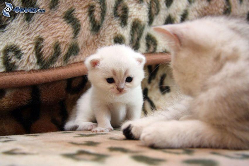 kleines weißes Kätzchen, weiße Katze