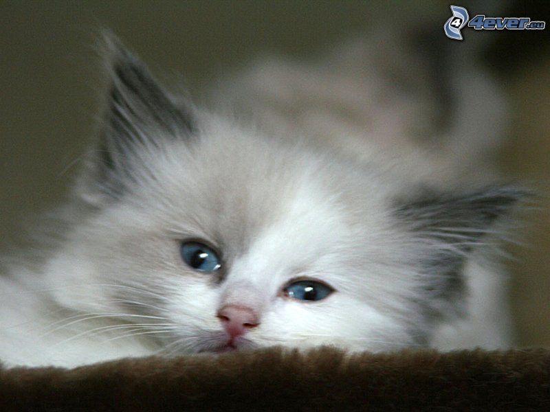 Perserkatze, weiße Katze, blaue Augen