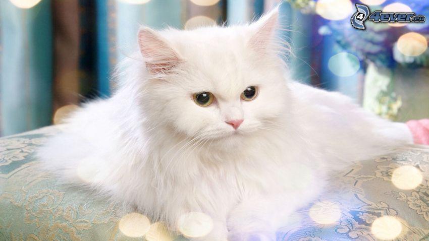 Perserkatze, weiße Katze