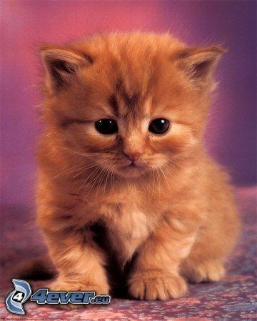 rostfarbenes Kätzchen