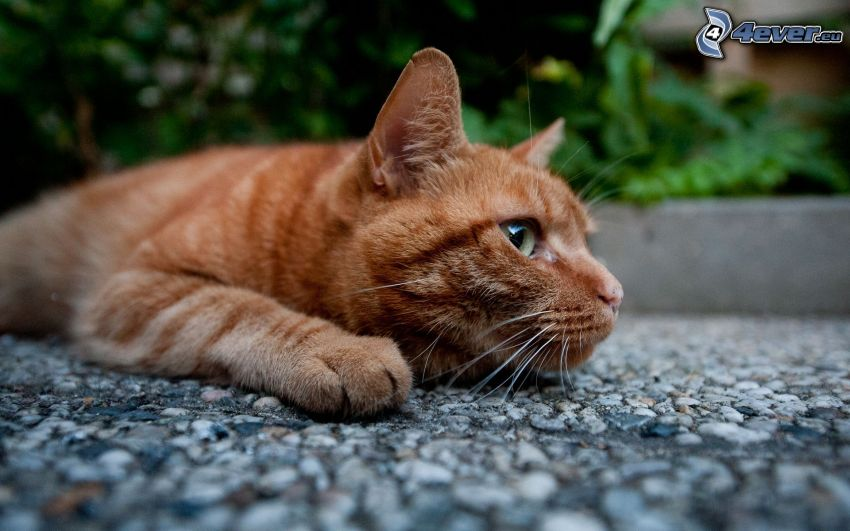 rothaarige Katze, Gehweg